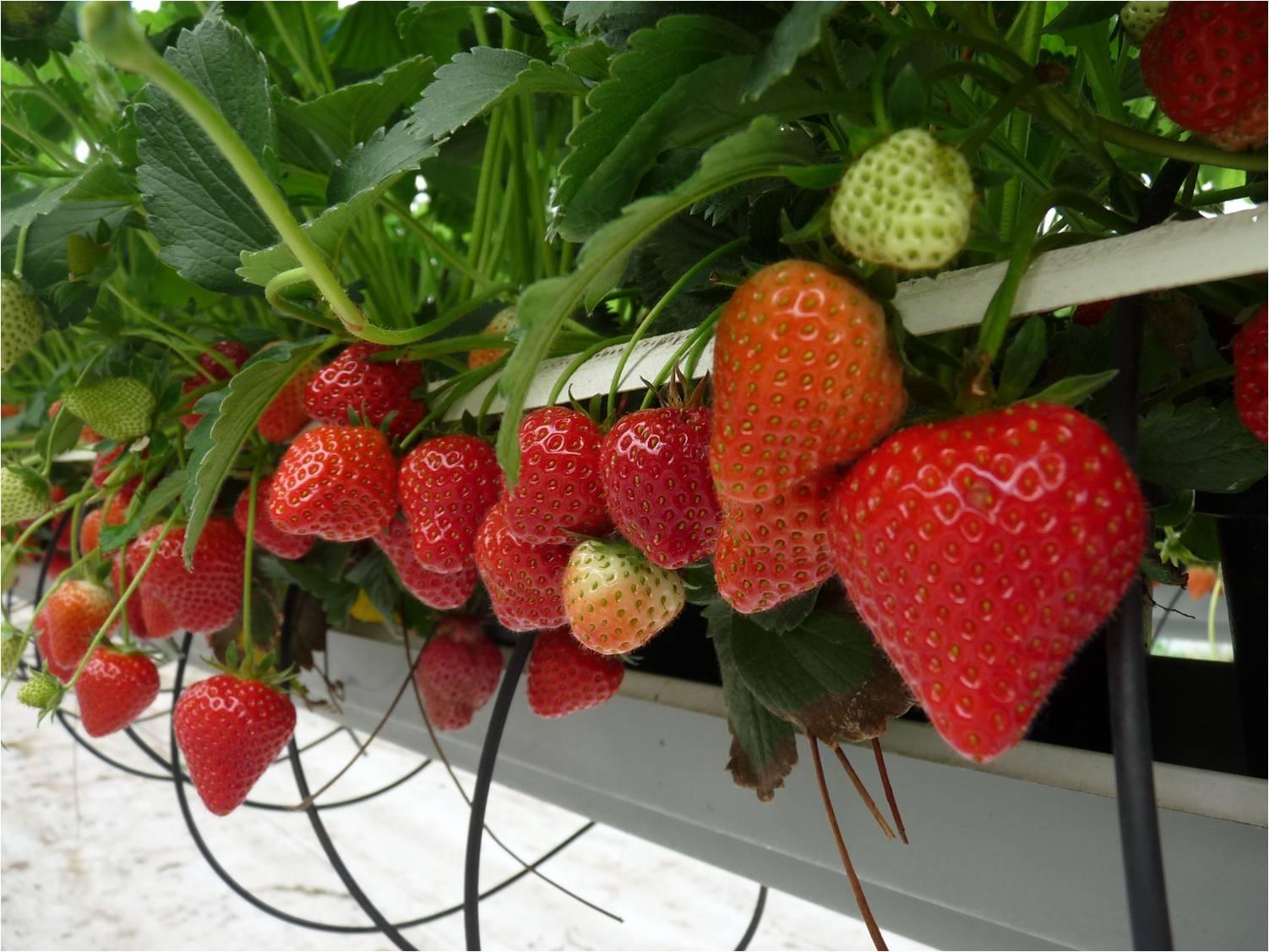 Projet Protection Biologique Intégrée fraises-légumes dans le Nord-Pas-de-Calais